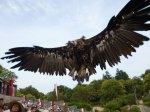 A rather large vulture comes way too close to me at Puy du Fou and pooped down my back