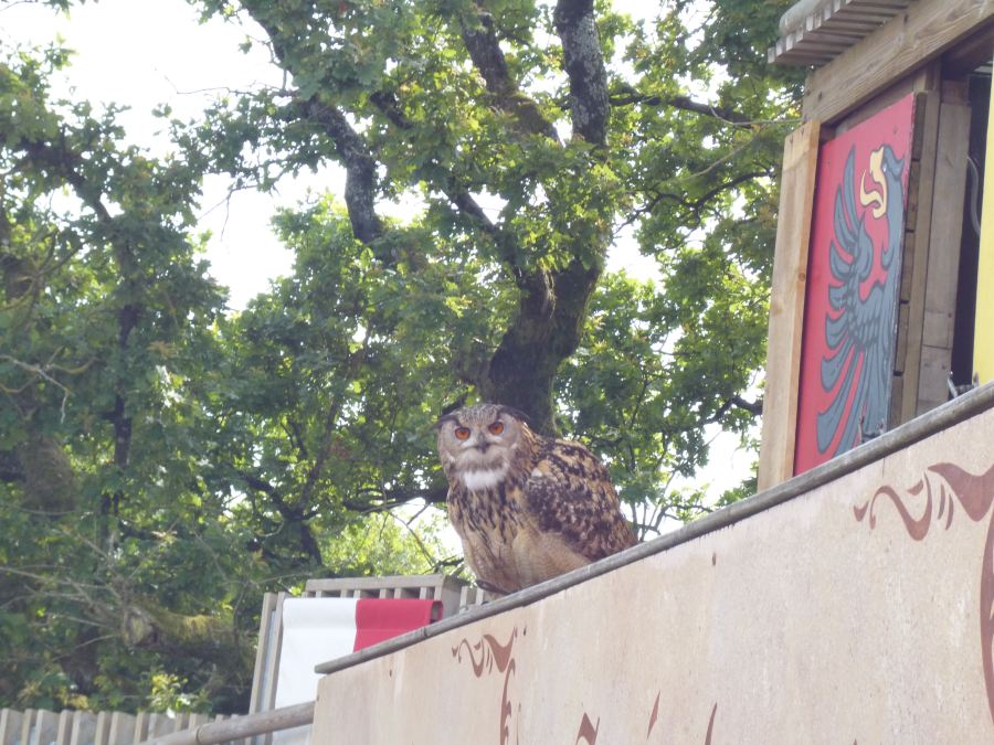 And owls staring you out as part of the bird show at Puy du Fou