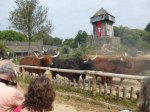 Cattle and vikings everywhere at Puy du Fou